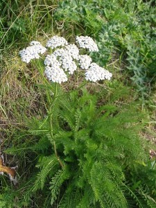 Achillea_millefolium__Common_Yarrow