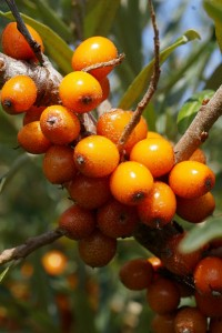 Hippophae_rhamnoides-berries