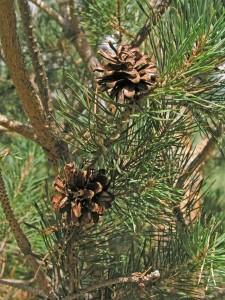 Pinus-sylvestris-cone-2