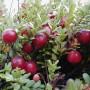 Spanguolių sodinimas
