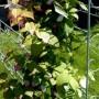 Nereiklūs sodo augalai, puošiantys ir maitinantys