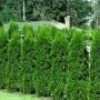 Augalai, tinkantys formuoti gyvatvores. Gyvatvorių sodinimas ir genėjimas