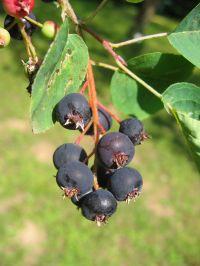 medlievos vaisiai