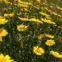 Chrizantemos – ir sode, ir vazone