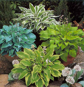melsves hosta