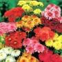 Skaistažiedės – indinės chrizantemos