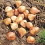 Tulpių pražydinimas
