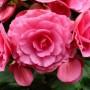 Įspūdingos gėlės – Begonijos