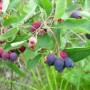 Medlieva (Amelanchier spicata)