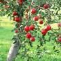 Obelis – sveikatos ir sveikos mitybos šaltinis