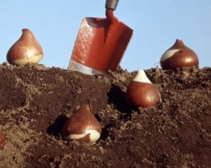 Tulpių sodinimas
